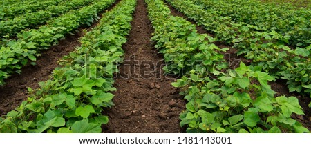 Companion planting. Inter cropping. Crop rotation. Mix crops of cotton plant (Gossypium) and Mung bean tree (Vigna radiata). Mung bean tree used as legumes crop and green manuare. Organic farming.