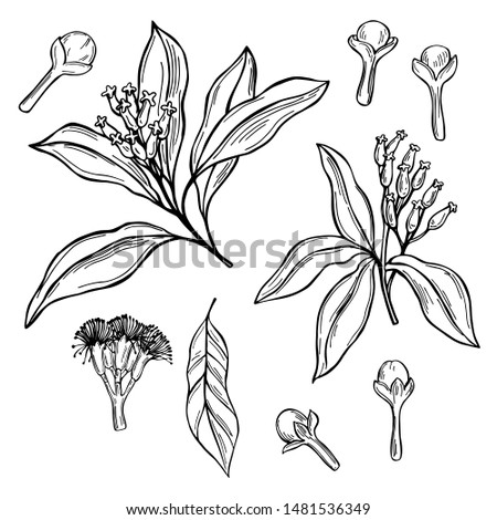 Hand drawn clove. The pods and flowers. Vector sketch  illustration. Royalty-Free Stock Photo #1481536349