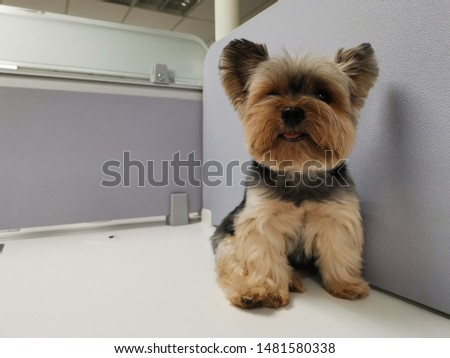 Brown Yorkshire Dog Sitting on a white table #1481580338