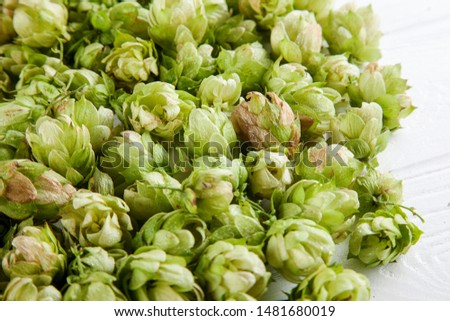 Close up view on green hop on white background. Copy space for design. Selective and soft focus. Beer and hope concpet #1481680019