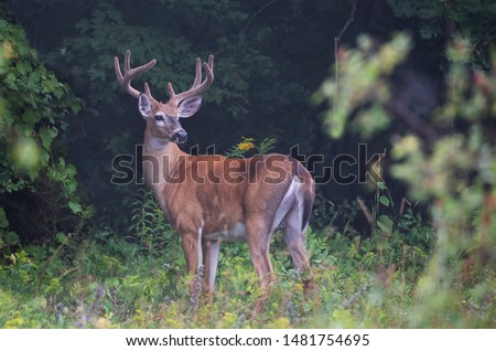 Large white-tailed deer buck on an early foggy morning with velvet antlers in summer in Canada #1481754695