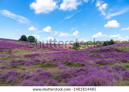 Flowering Calluna vulgaris (common heather, ling, or simply heather) under blue sky and white fluffy clouds, Purple flowers on the hilly side field, Posbank, Veluwezoom National Park, Netherlands. #1481814485