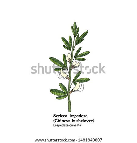 Illustration of  Sericea lespedeza, Lespedeza cuneata, hand drawing. #1481840807
