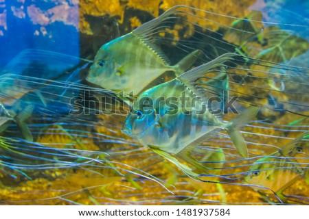 Many Cichlid fishes in the aquarium #1481937584