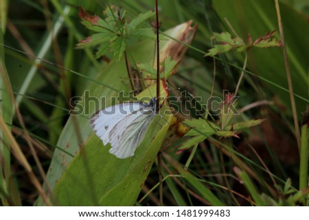 Cabbage butterfly (male) having a short rest in a lush green roadside   #1481999483