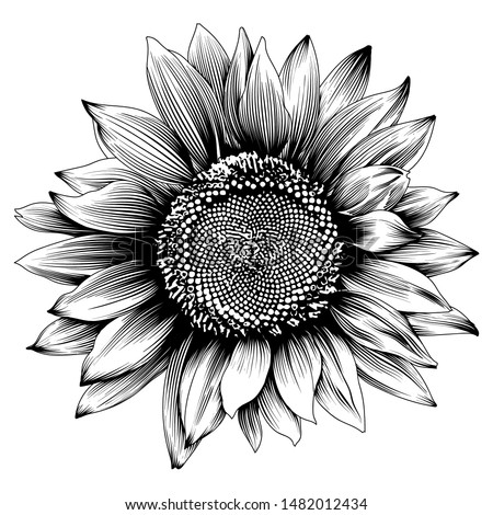 Sunflower illustration. Engraved vintage style. Vector isolated design.Vector antique engraving drawing illustration of big sunflower isolated on white background #1482012434