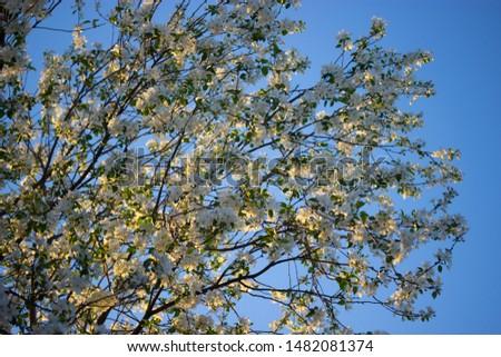 white flowers in spring in warm sunlight #1482081374