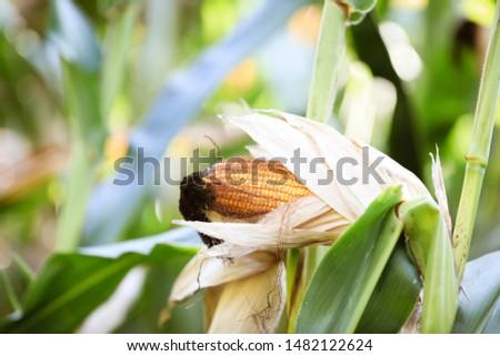 pumpkins of corn grow in the field #1482122624