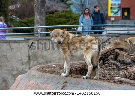 Russia, Moscow 07,08,2019 Wolves at the zoo and visitors at the aviary #1482158150