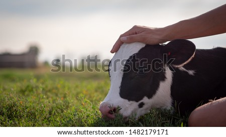 Authentic close up shot of young woman farmer hand is caressing  an ecologically grown newborn calf used for biological milk products industry on a green lawn of a countryside farm with a sun shining. #1482179171