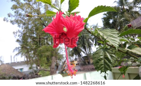 Hibiscus flower Hibiscus flower with bloom #1482268616