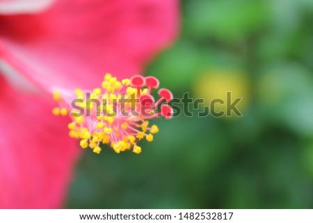Closeup hibiscus flower pollen. Macro shot of a beautiful and vibrant hibiscus flower. Red hibiscus flower on a green background. #1482532817