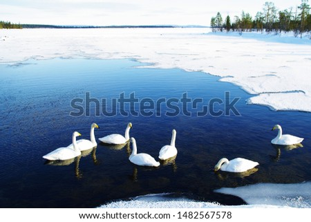 White swans are swimming in an icy water in Finnish Lapland lake #1482567578