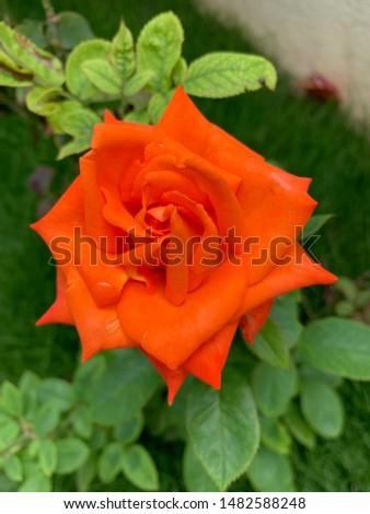Beautiful Rose in my garden Reddish Pink or reddish pink #1482588248