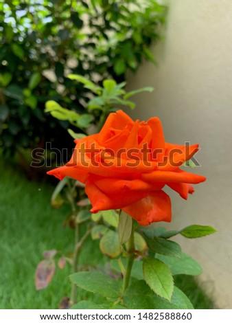 Beautiful Rose in my garden Reddish Pink or reddish pink #1482588860
