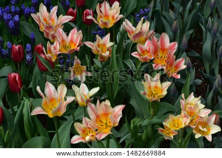 Tulips flower blossoms bright colors #1482669884