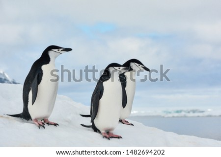 Group of Chinstrap Penguins in Antarctica with clouds and sea in the background.