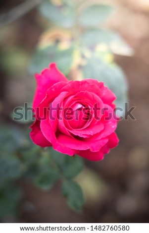 Roses in the garden, Roses are beautiful with a beautiful sunny day. #1482760580