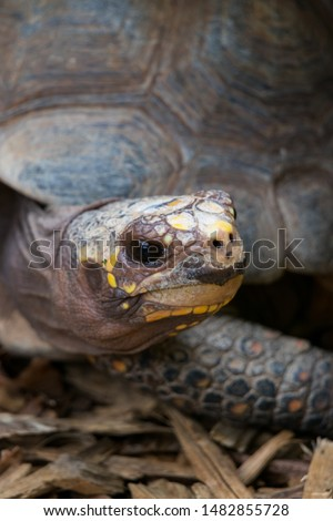 red-footed tortoise (Chelonoidis carbonarius) is a species of tortoises from northern South America #1482855728