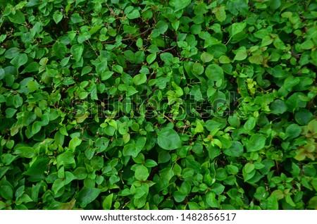 Ornamental shrubs ,Wall shrubs Backgrounds #1482856517