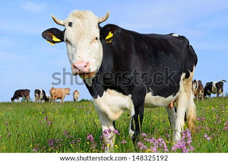 Cow on a summer pasture #148325192