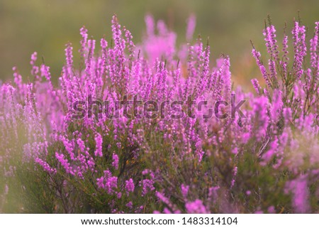 Blooming wild pink violet heather flowers in forest at autumn day. Landscape plant heather, national Scottish flora. Colorful traditional October flower, blossom in the north of Europe, Luneburg Heath #1483314104