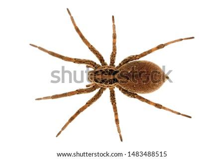European Tarantula. Hogna Radiata.  Lycosidae family. Insolated spider in a white background.  #1483488515