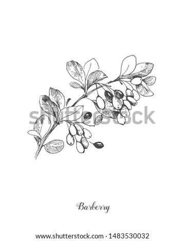 Berberis vulgaris, also known as common barberry, European barberry or simply barberry, is a shrub in the genus Berberis. It produces edible but sharply acidic berries, vintage line drawing. Royalty-Free Stock Photo #1483530032