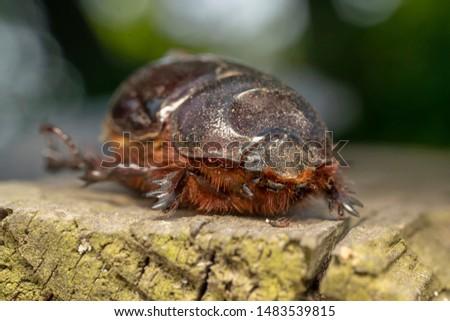Lucanus cervus, female. It is the best-known species of stag beetle (family Lucanidae) in Western Europe #1483539815