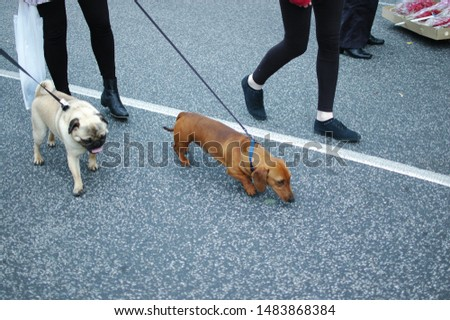 Picture of two dog breeds, pug and dachshund on a leash at a flea market in melbourne Australia