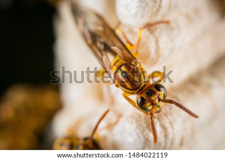 the macro shot of Parapolyvia varia, a kind of wasp. #1484022119