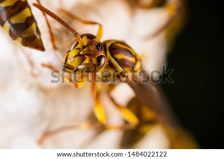 the macro shot of Parapolyvia varia, a kind of wasp. #1484022122