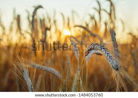 Spelled (Triticum spelta). Grain. Cereal, species of the genus Corn (Triticum). Beautiful sunset with ears of corn #1484053760