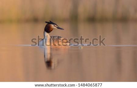 Great Crested Grebe at the little lake in spring #1484065877