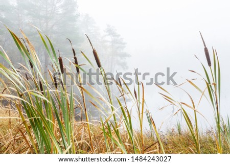 Bulrush in a wetland in fog #1484243027