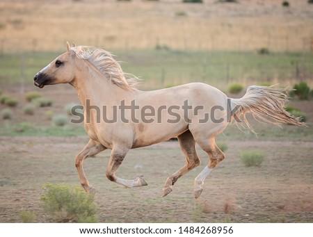 Palomino Horse Running in Pasture #1484268956