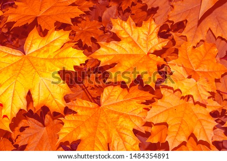 autumn landscape with bright colorful leaves. Indian summer. foliage #1484354891