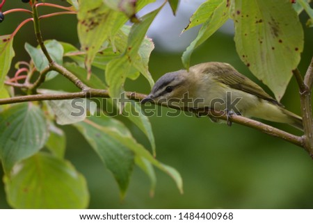 Red Eyed Vireo bird in forest #1484400968