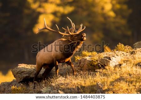 Bull elk bugling for mate in September. Royalty-Free Stock Photo #1484403875