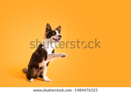 Dog Shaking Paws on Colored Background #1484476325