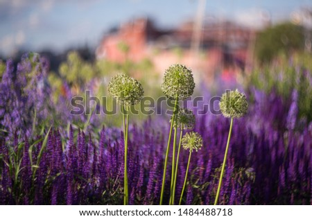 Allium inflorescences on a background of purple sage flowers in the park. Selective focus, shallow depth of field.