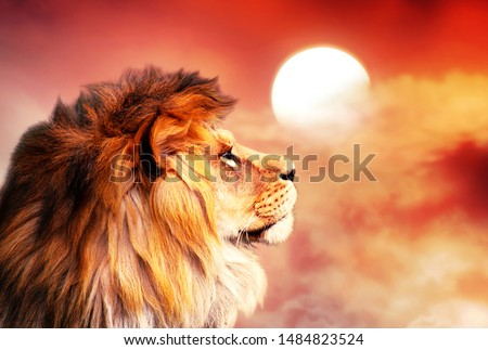 African lion and sunset in Africa. African savannah landscape theme, king of animals. Proud dreaming noble lion in savanna looking to sky. Amazing warm sun light and blazing red cloudy sky. #1484823524