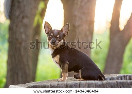Chihuahua is sitting on the bench. Pretty brown chihuahua dog standing and facing the camera. chihuahua has a cheeky look. The dog walks in the park. Black-brown-white color of chihuahua. #1484848484