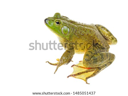 Focus Stacked Closeup Image of a Huge American Bullfrog Sitting   Isolated on White #1485051437