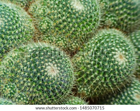 cactus (Echinocactus grusonii) cluster. well known species of cactus #1485070715