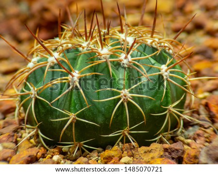 cactus (Echinocactus grusonii) cluster. well known species of cactus #1485070721