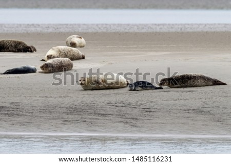 Seals in the natural reserve of the Wattenmeer in Germany, Amrum (Oomram) #1485116231