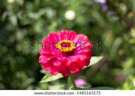 reddish pink flower, reddish pink zinnia #1485163175
