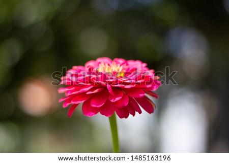 reddish pink flower, reddish pink zinnia #1485163196