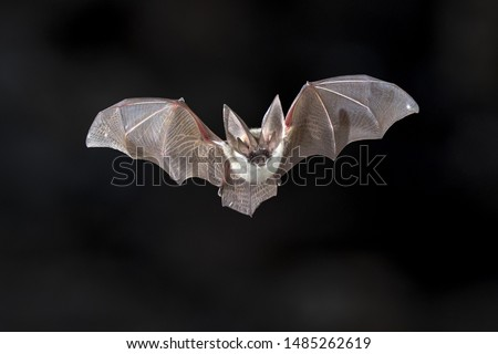 Flying bat on dark background. The grey long-eared bat (Plecotus austriacus) is a fairly large European bat. It has distinctive ears, long and with a distinctive fold. It hunts above woodland. Royalty-Free Stock Photo #1485262619